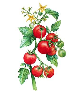Vše o rajčatech