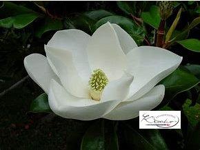 Aroma do svíček a mýdel 10 ml - Magnolia