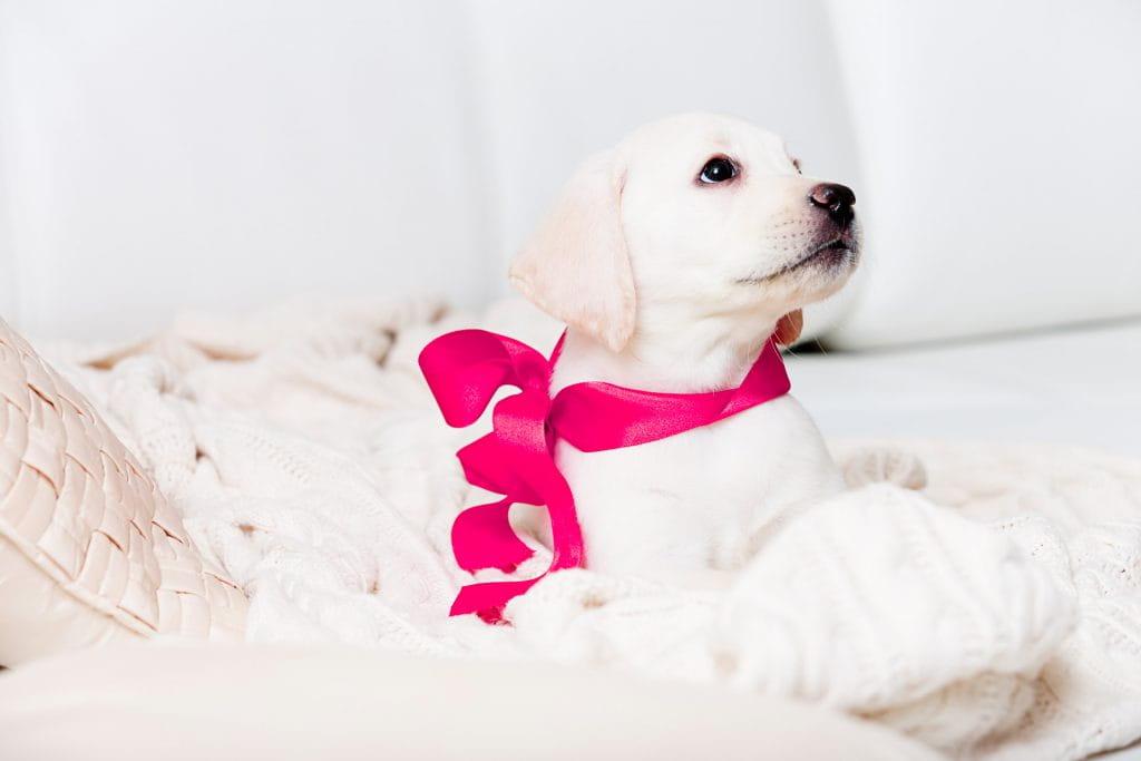 Pes jako vánoční dárek