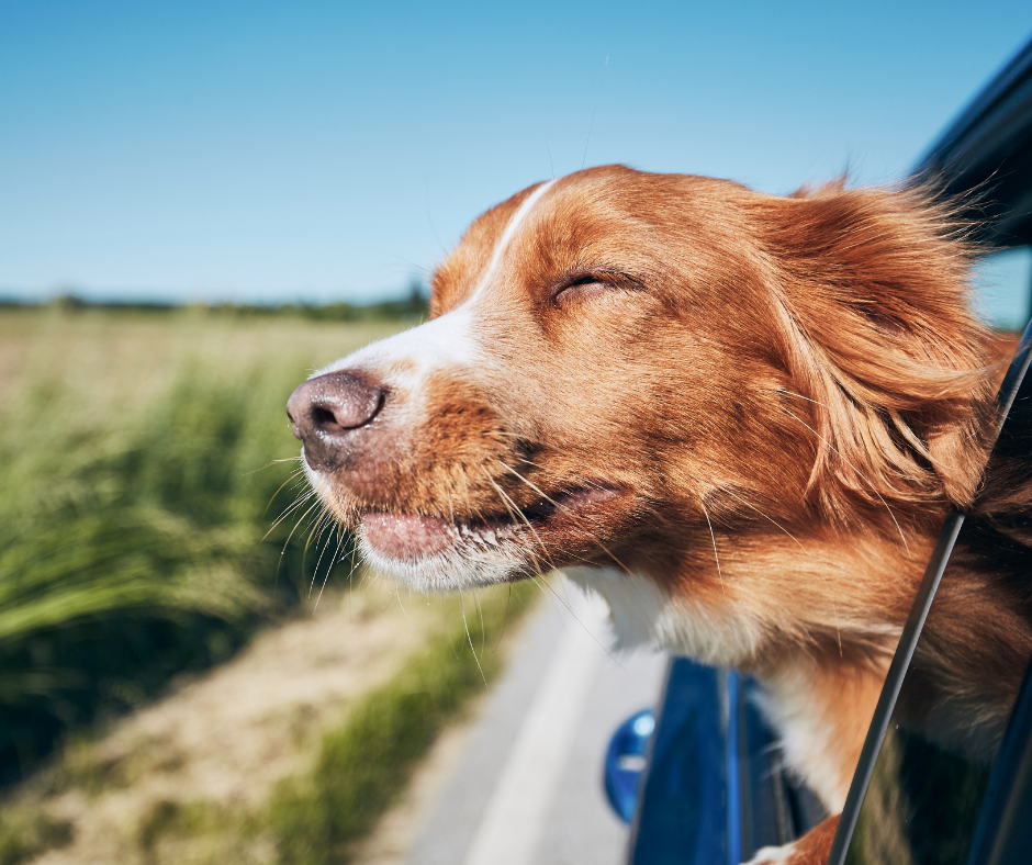 Víte, jak správně cestovat se svým psem vlakem, autobusem nebo autem?