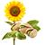 pistácie - slunečnice