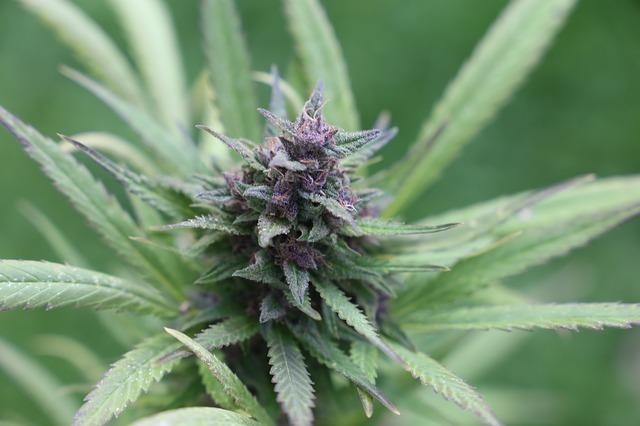 Fialové odrůdy konopí a kde se bere jejich zbarvení