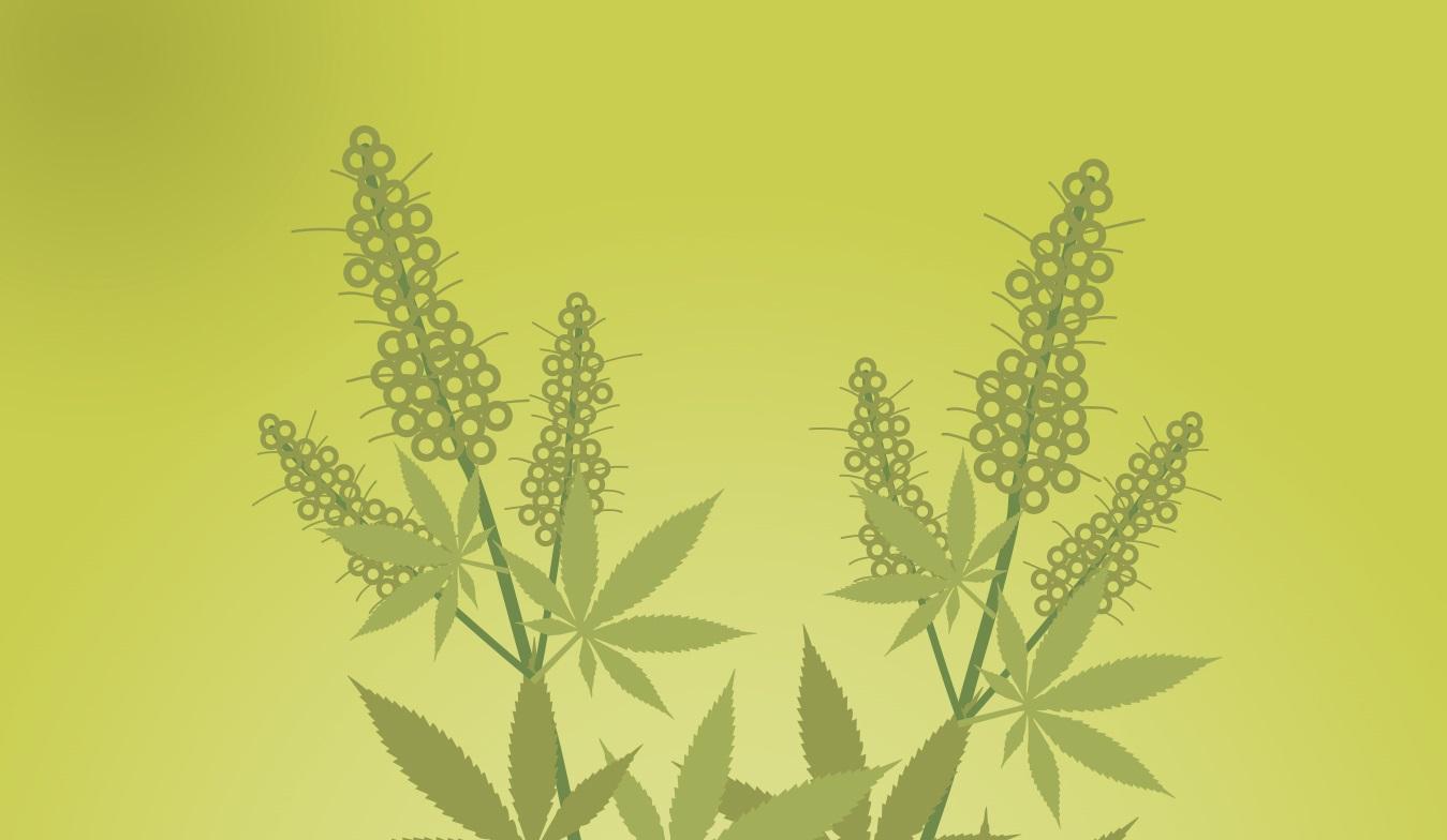 Základy pěstování aneb jaké jsou fáze života konopí