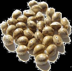 CBD semena konopí