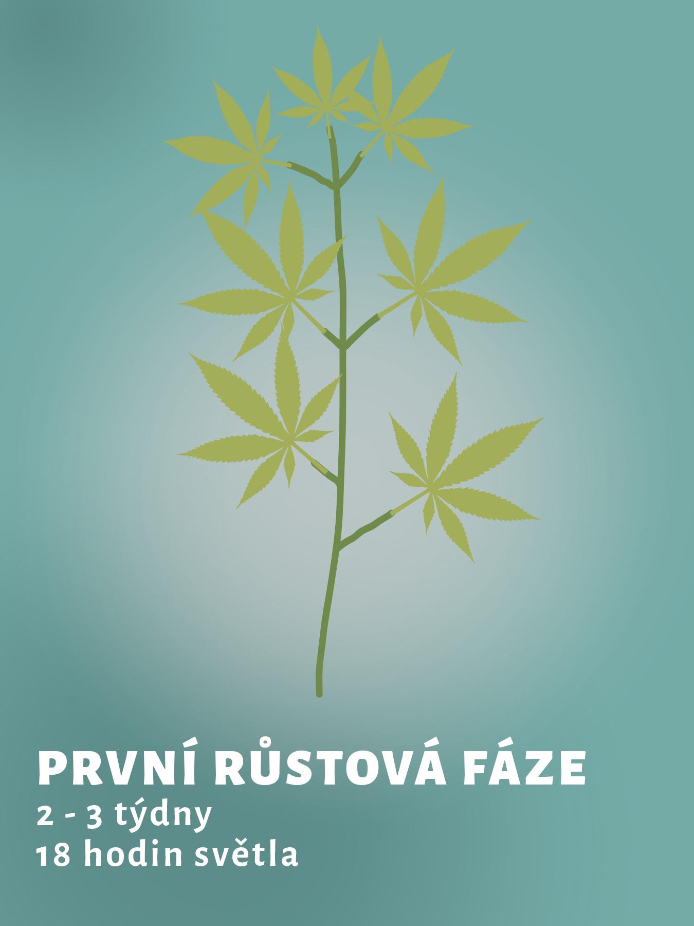rustova-faze-konopi_1