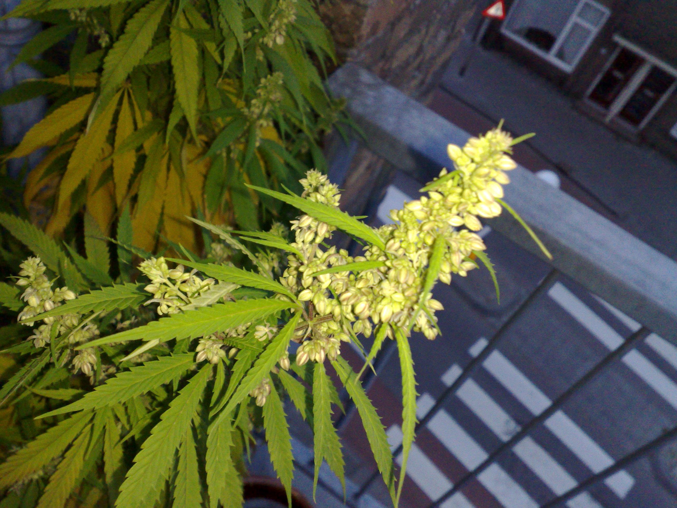 samec-konopi-květ