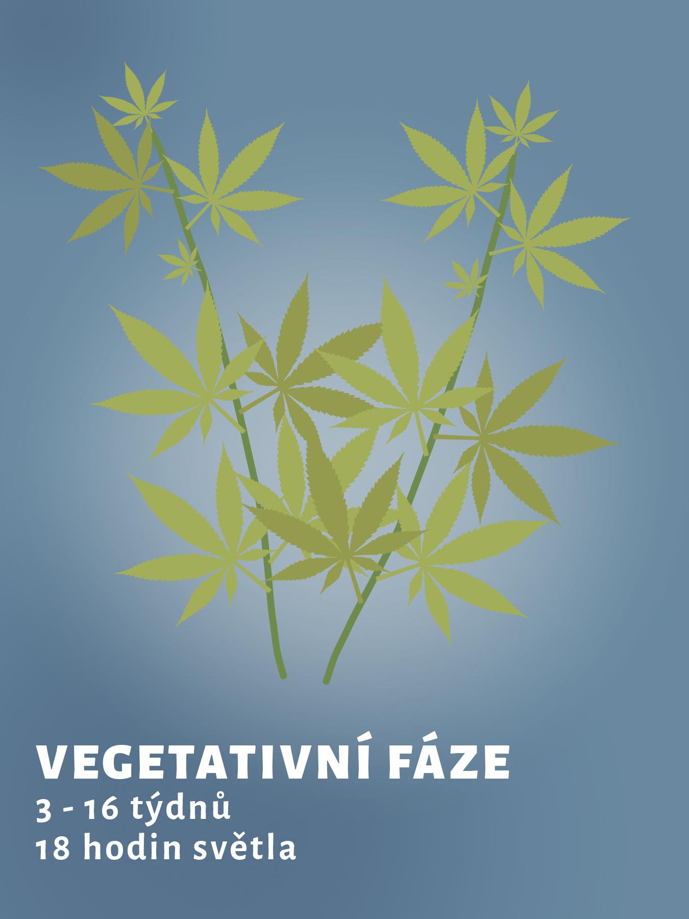 vegetativni-faze-konopi
