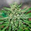 cbd tonic web konopi marihuana
