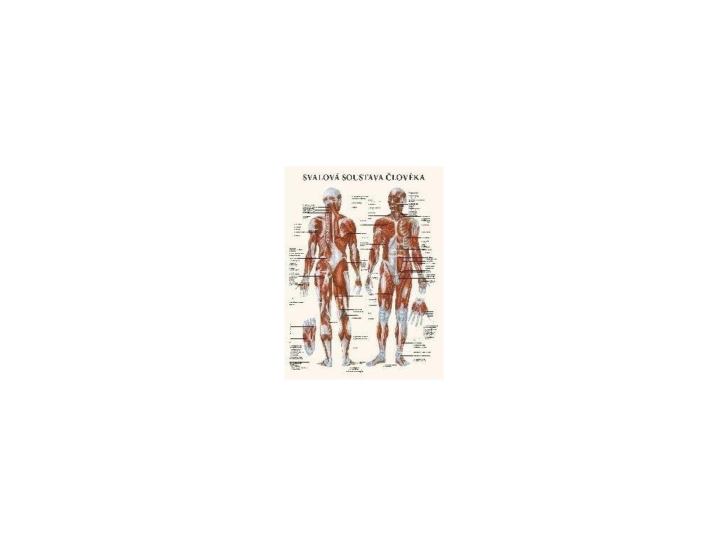 Svalová soustava člověka - anatomický plakát