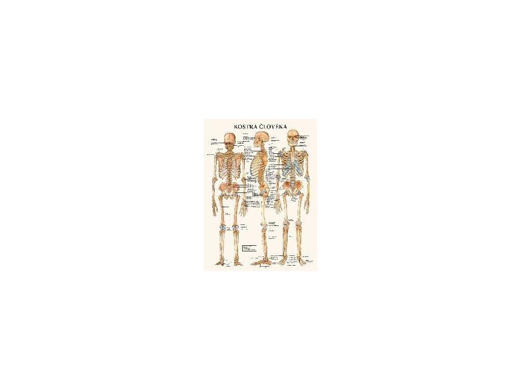 Kostra člověka - anatomický plakát