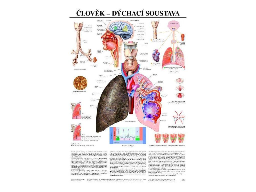 Dýchacia sústava - anatomický plagát