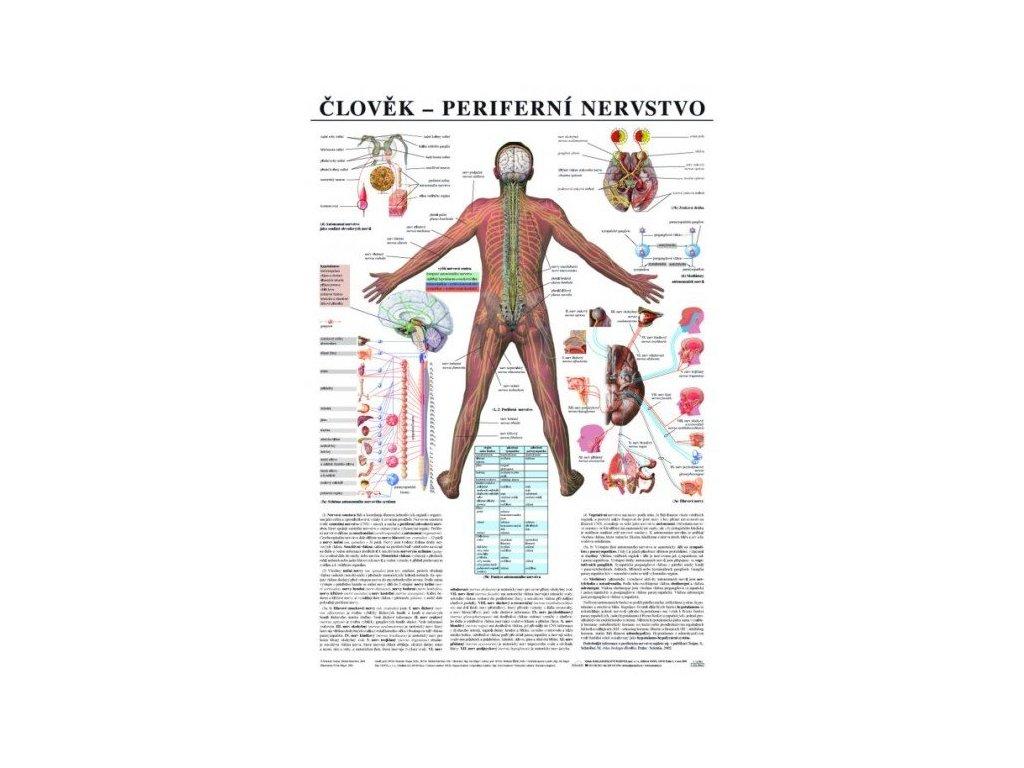 Periférne nervstvo - anatomický plagát
