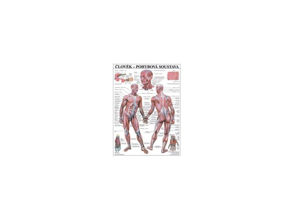 Pohybová sústava - anatomický plagát