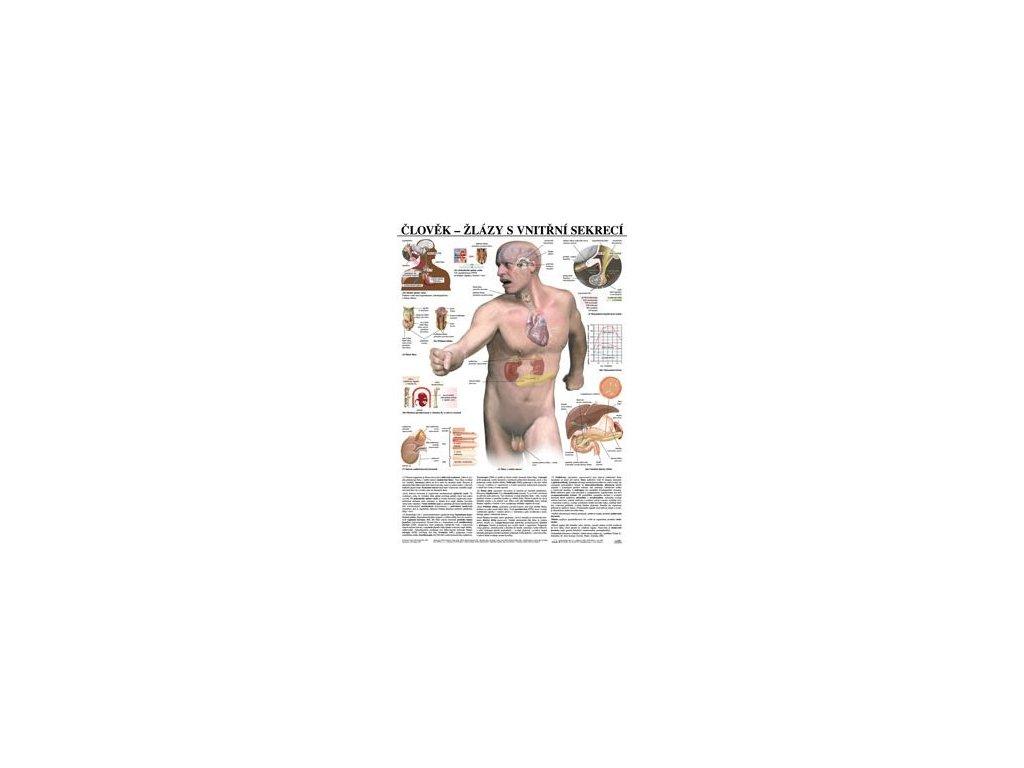 Žľazy s vnútornou sekréciou - anatomický plagát