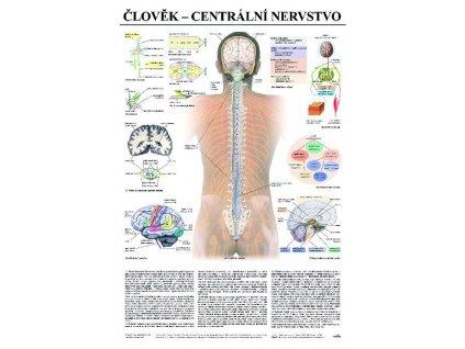 Centrálne nervstvo - anatomický plagát