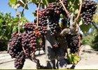 Italské původní odrůdy