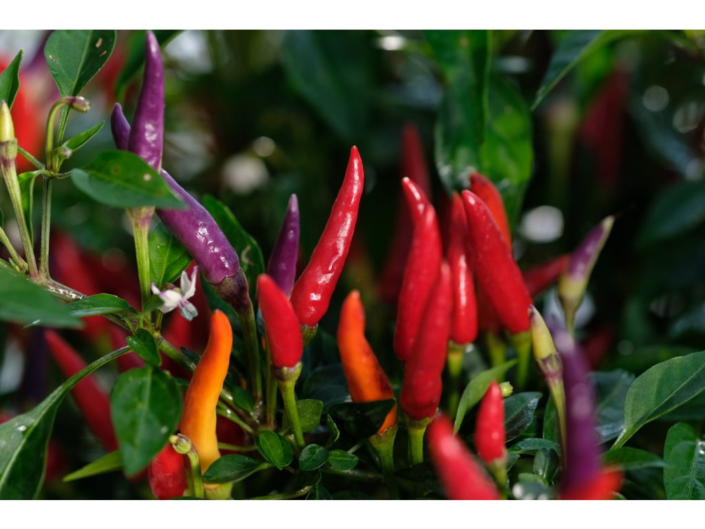 Sangria Ornamental sazenice chilli papriček