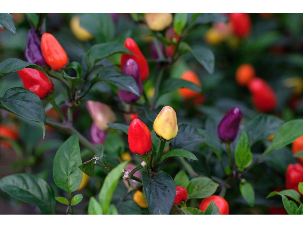 Five Chinense Multicolor semínka 10ks