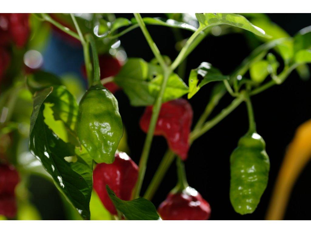 Habanero Red Tasmanian chilli rostliny vzrostlé