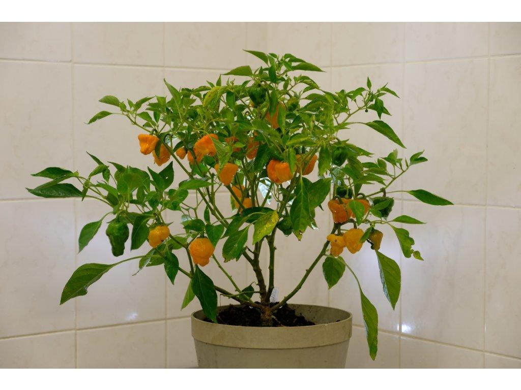 Jamaycan Yellow chilli rostliny vzrostlé