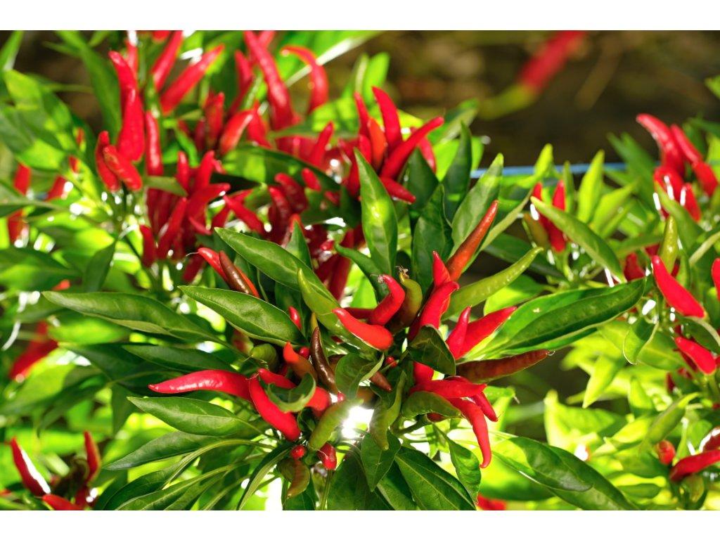 Poisenttia chilli rostliny vzrostlé