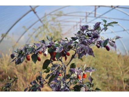 variegata (2).NEF