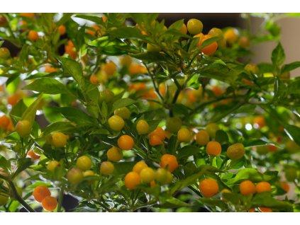 Aji Charapita chilli rostliny vzrostlé