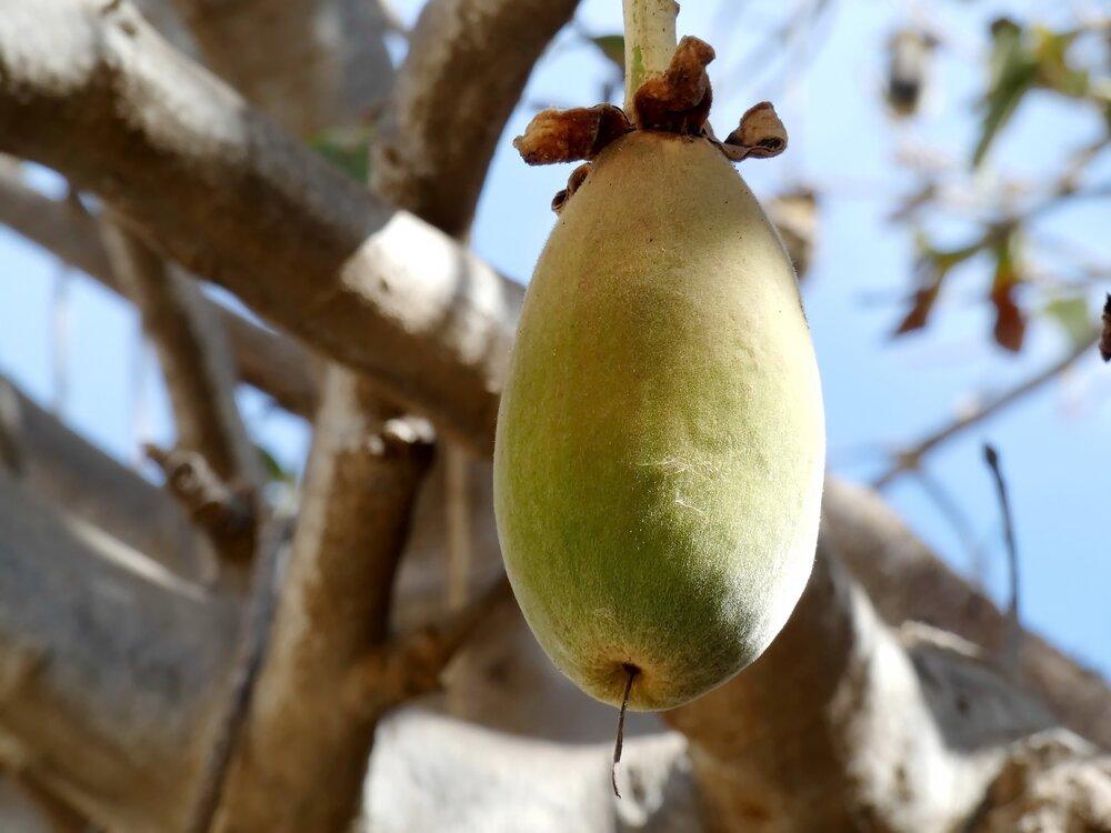 Baobab+Fruit