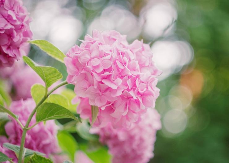 Hortenzia - rastlina do každej záhrady