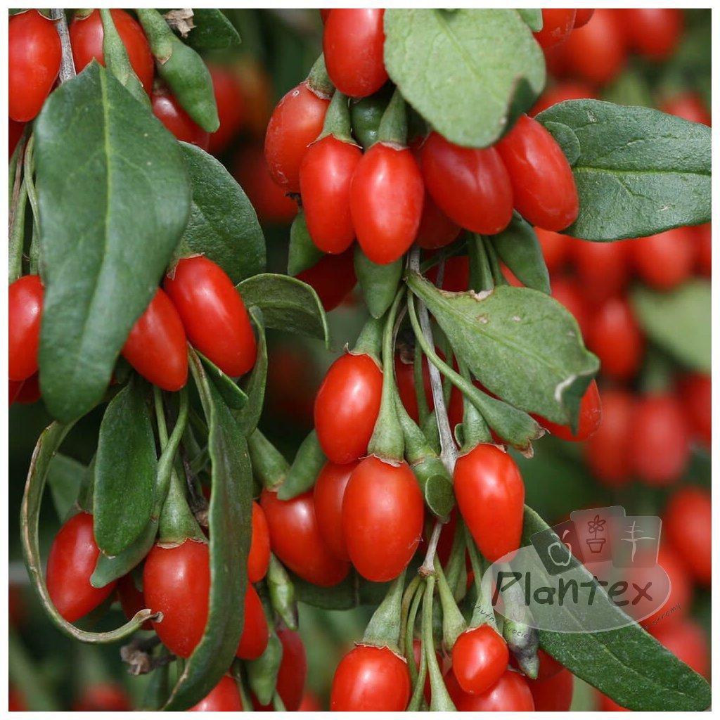 Goji Big Lifeberry