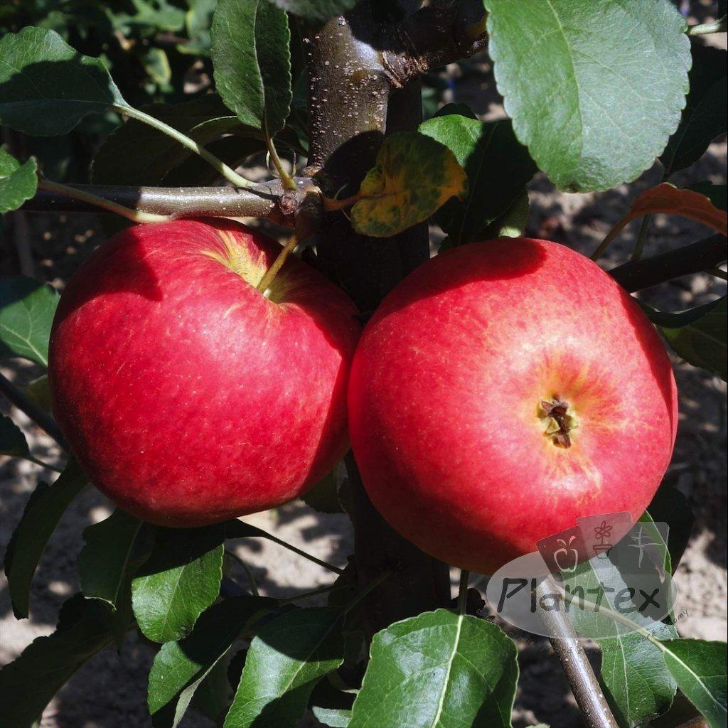 Zakrpatena jablon Garden Sun red