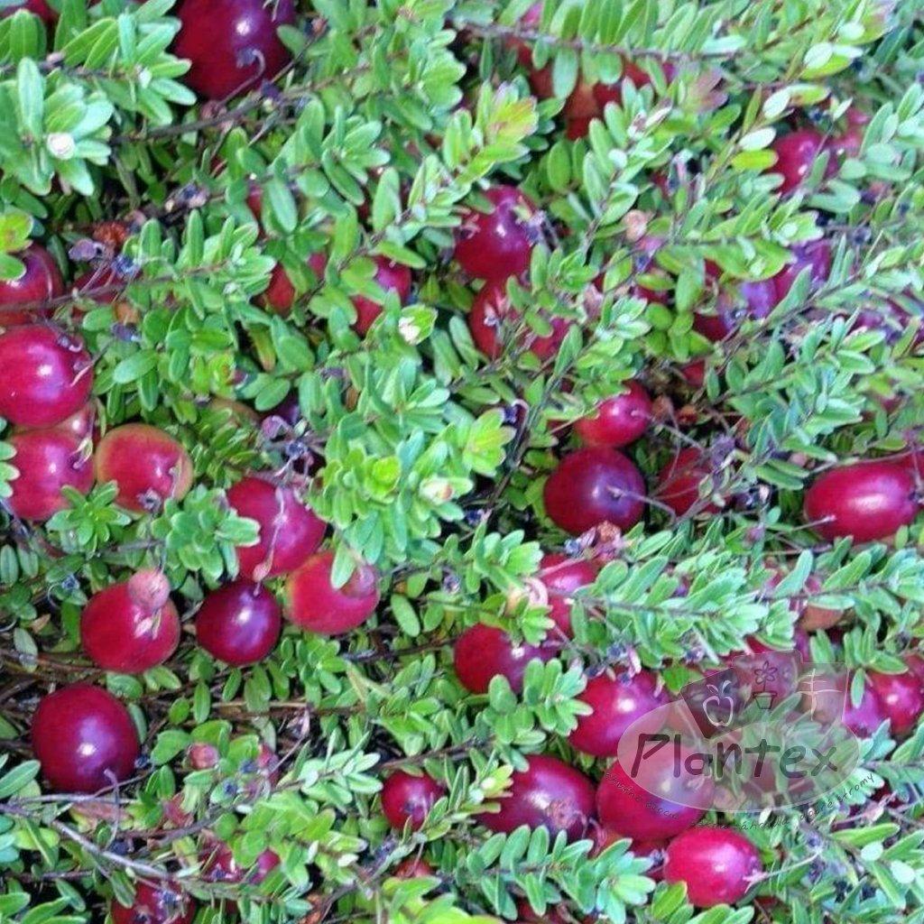 Klukva velkoploda Cranberry