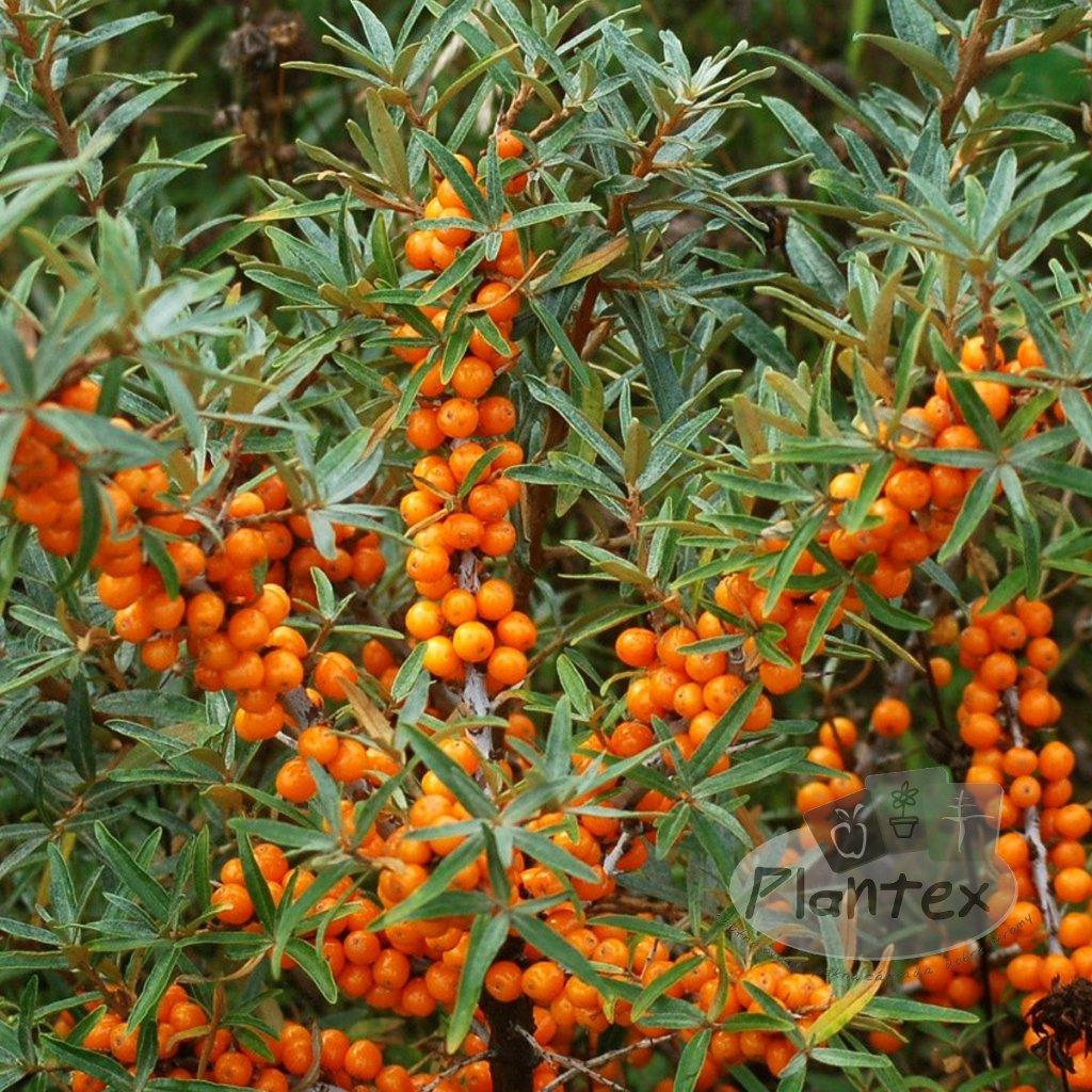 Rakytnik Friesdorfer Orange