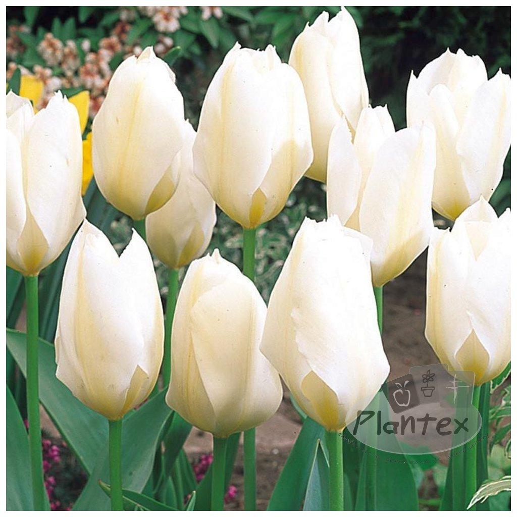 Cibuloviny Tulipan White Prince