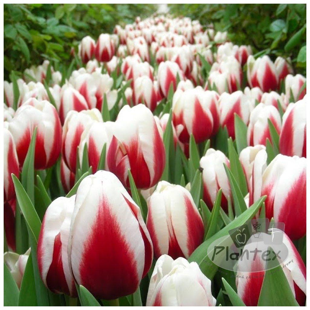 Cibuloviny Tulipan Guus Papendrecht