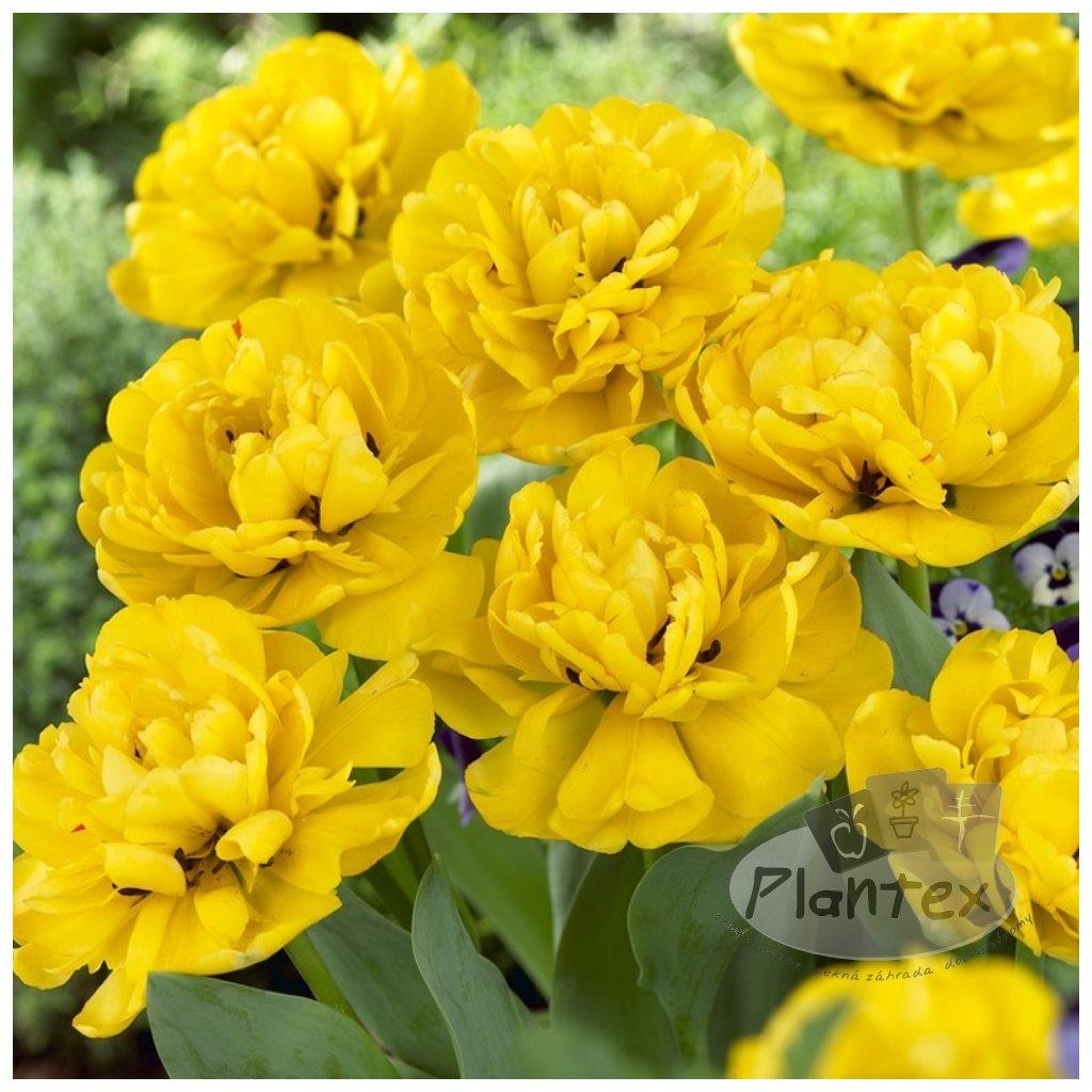 Cibuloviny Tulipan Yellow pomponette