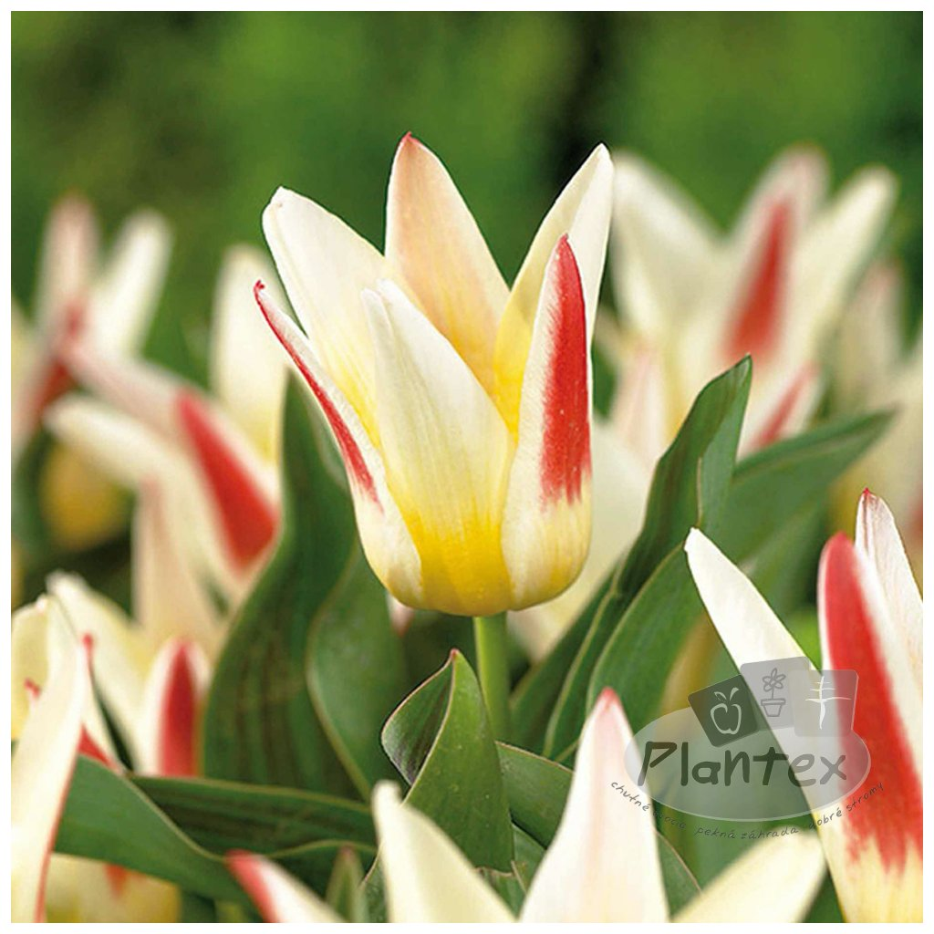 Cibuloviny Tulipan Johann Strauss
