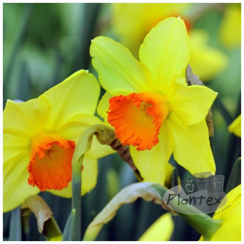 Cibuloviny Narcis Red Devon