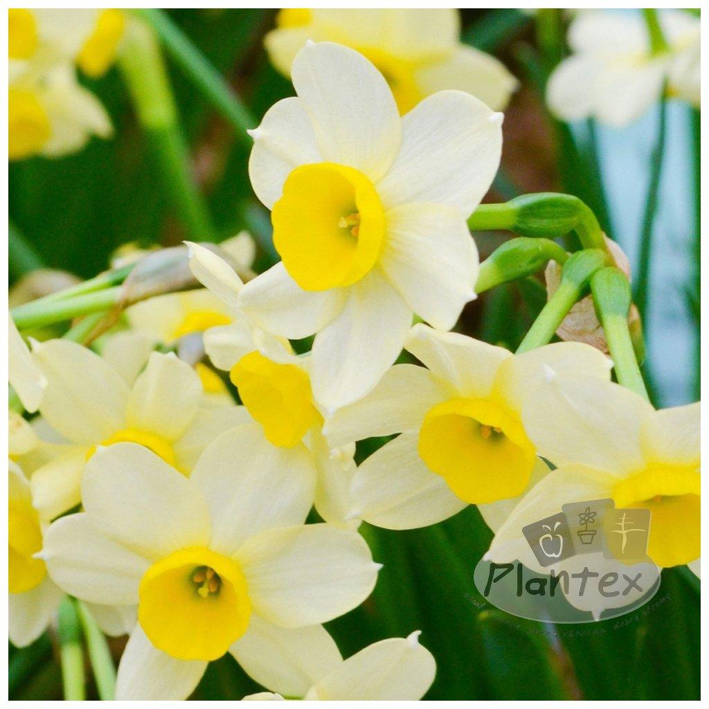 Cibuloviny Narcis Minnow
