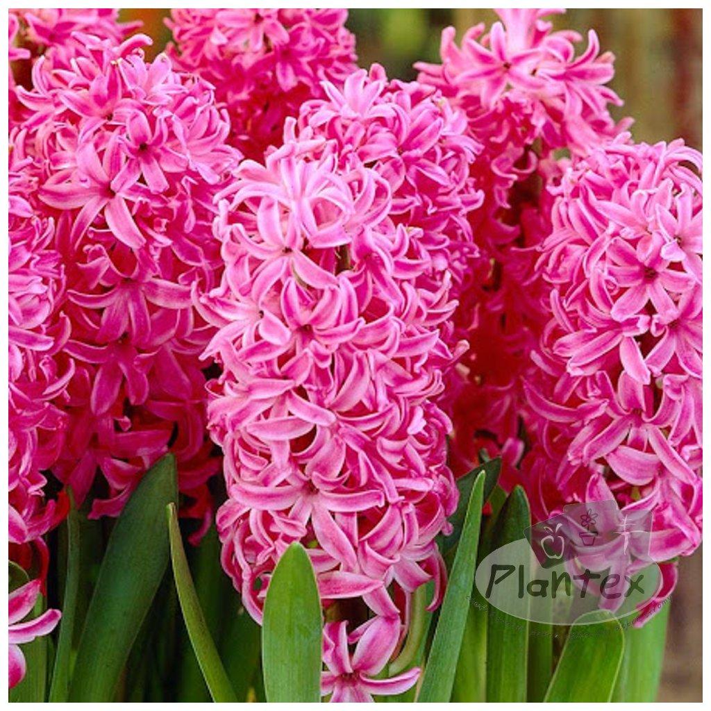 Cibuloviny Hyacint Pink Pearl