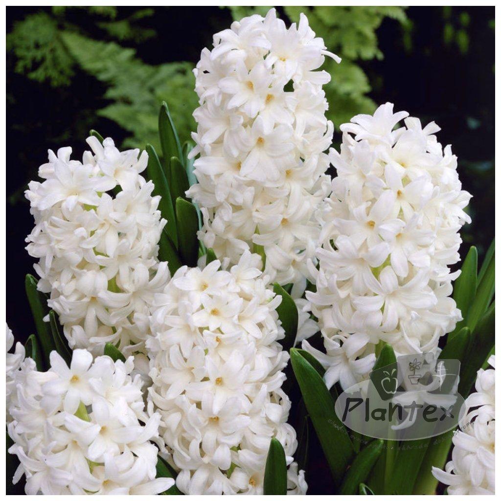 Cibuloviny Hyacint Carnegie