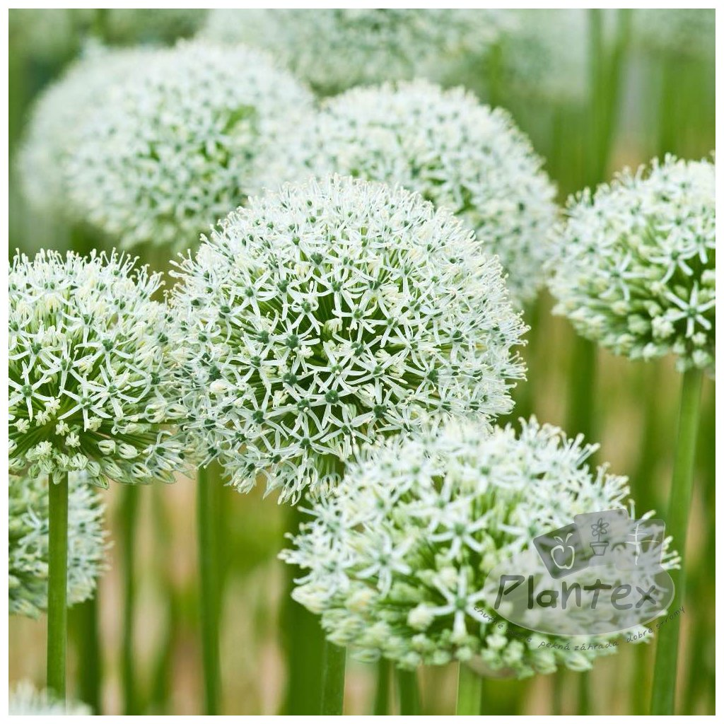 Cibuloviny Allium Mount Everest
