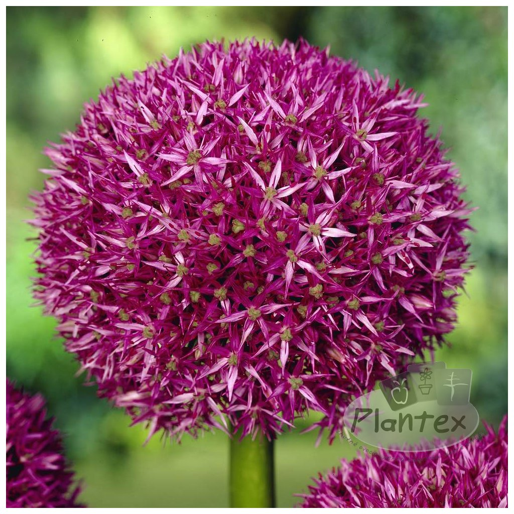 Cibuloviny Allium Beau Regard