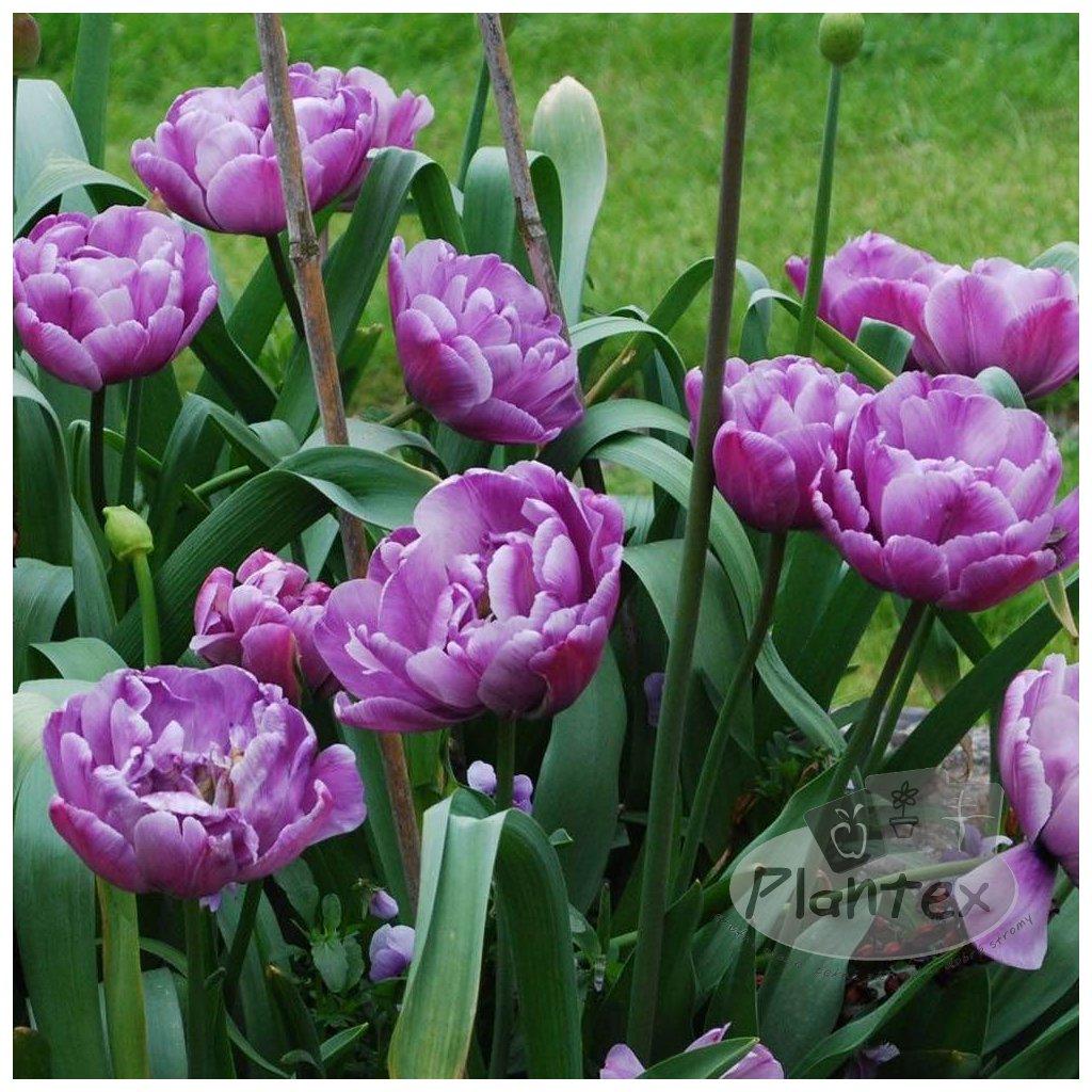 Cibuloviny Tulipan Lilac Perfection