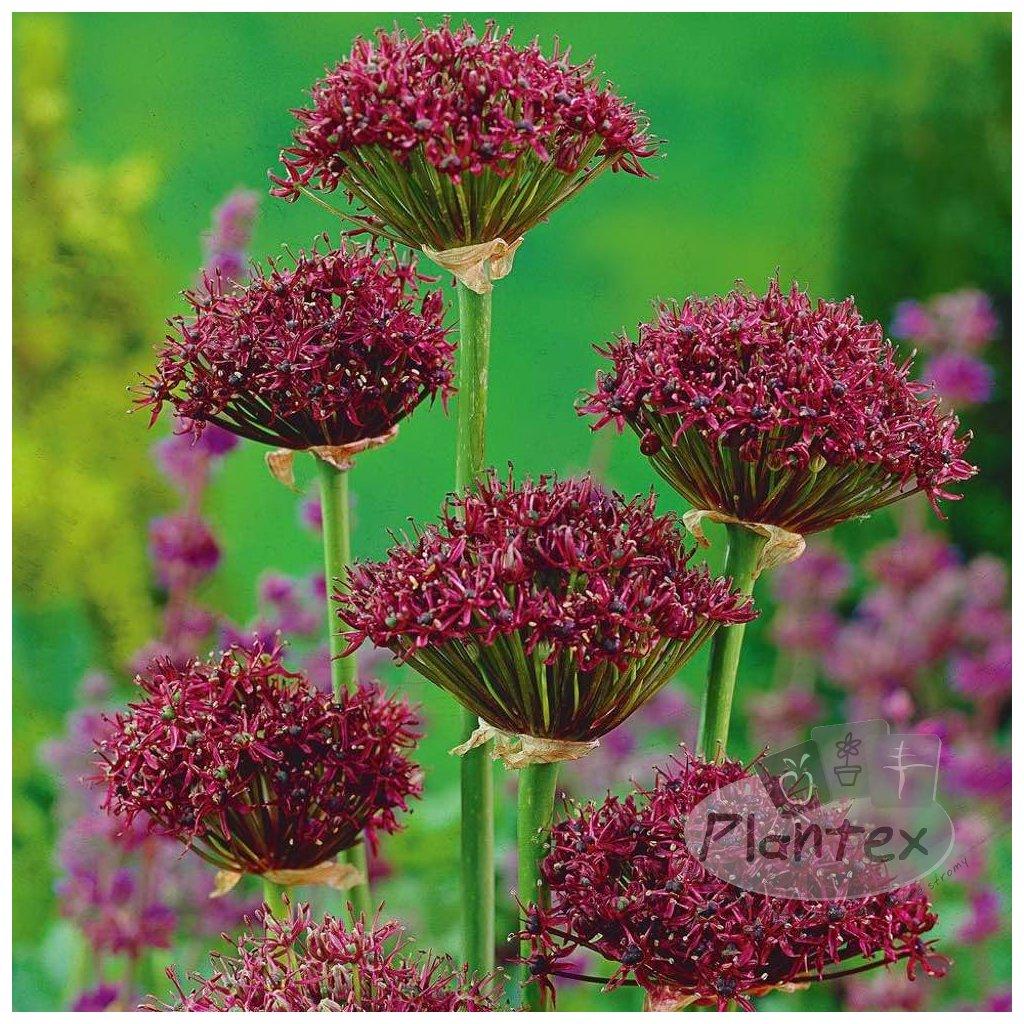 Cibuloviny Allium Atropurpureum