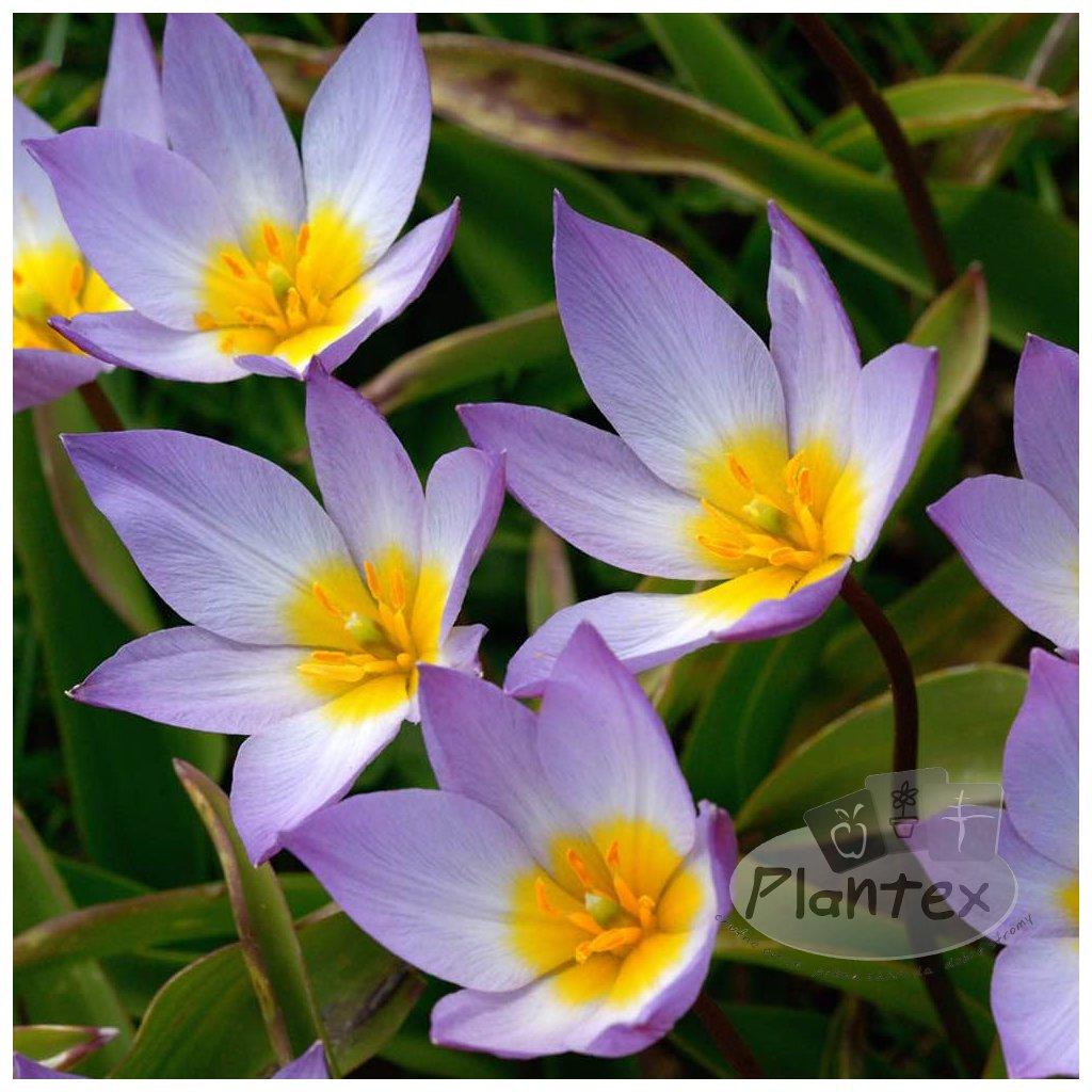 Cibuloviny Tulipan Saxatilis
