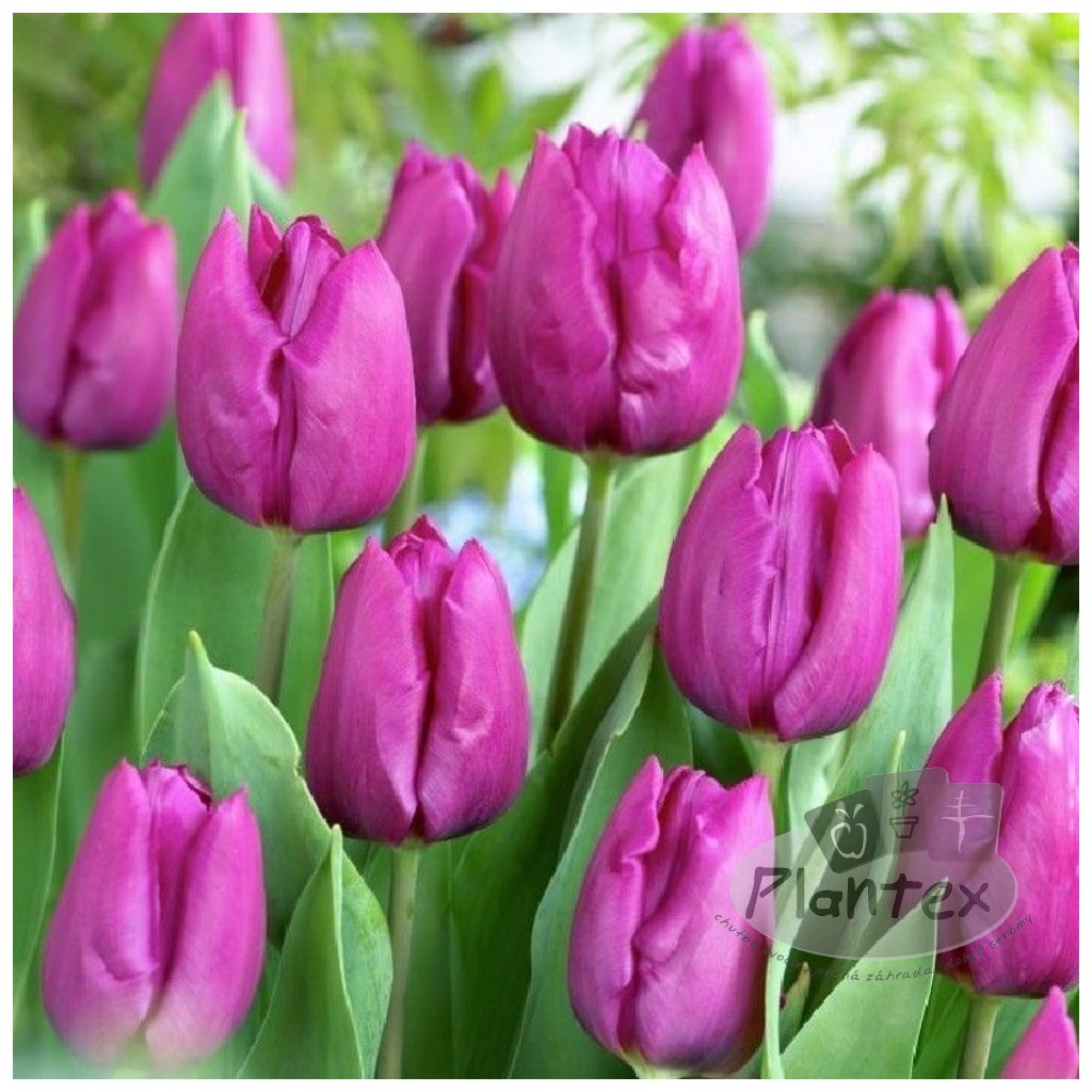 Cibuloviny Tulipan Parrot Prince