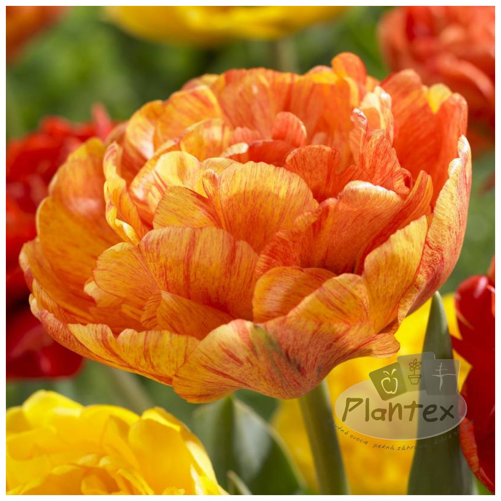 Cibuloviny Tulipan Sunlover
