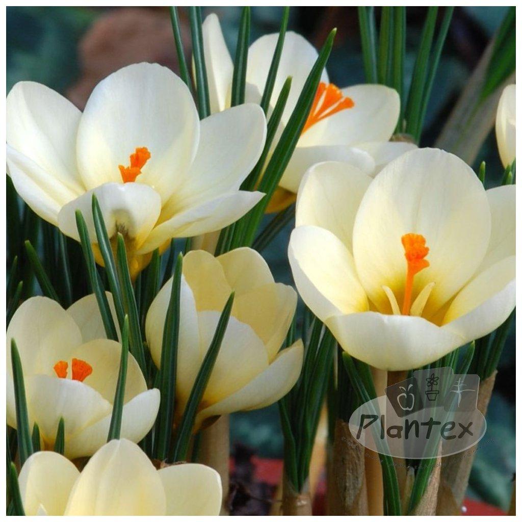 Cibuloviny Corcus Cream Beauty