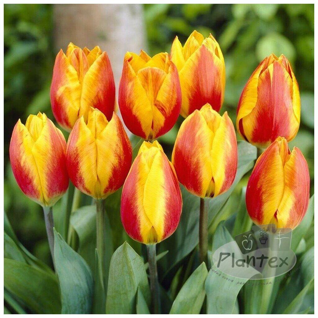 Cibuloviny Tulipan Flair